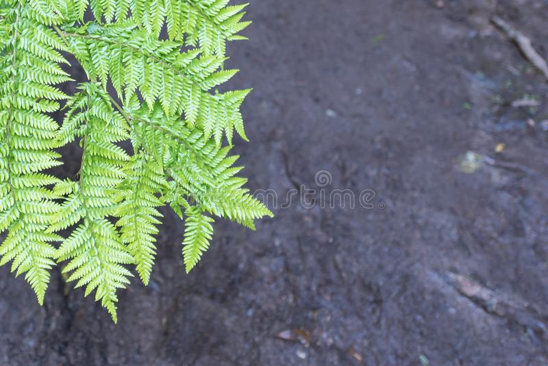 Leaves of the silver fern. Against a background of grey earth royalty free stock images