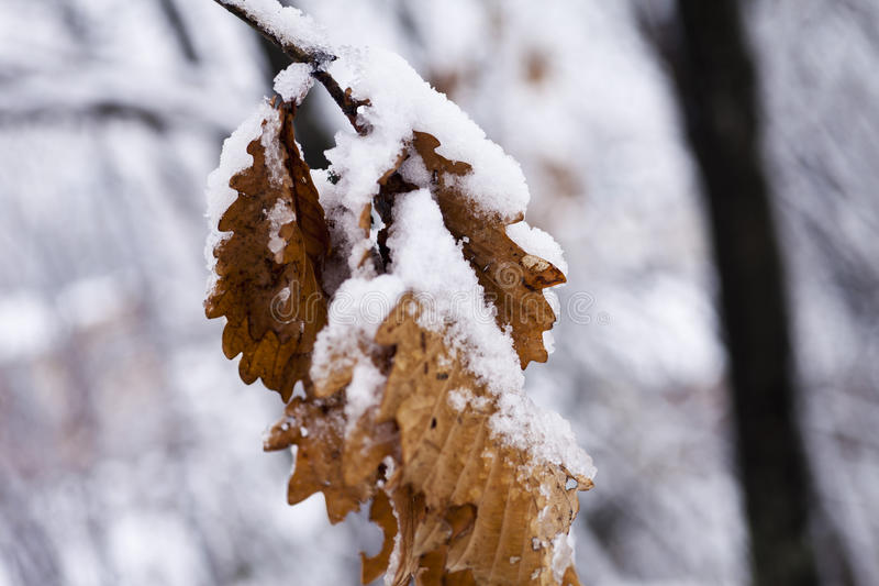 Leaves in snow stock photos