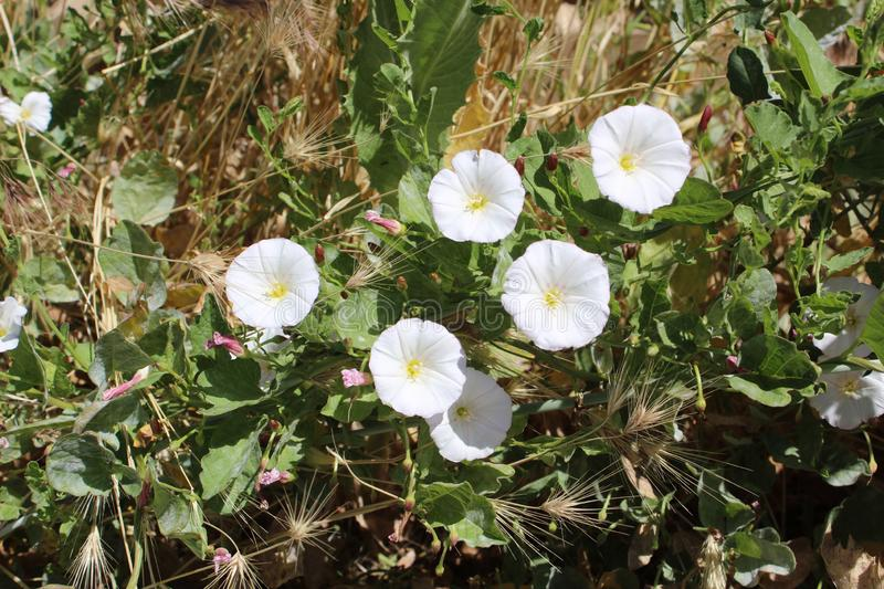 Field bindweed Convolvulus arvensis. The leaves are spirally arranged, linear to arrowhead-shaped, 2–5 cm long and alternate, with a 1–3 cm petiole royalty free stock image