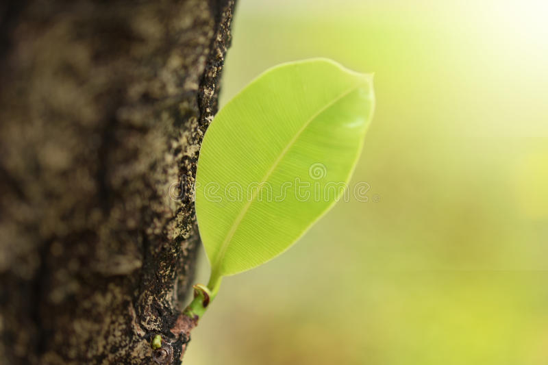 Leaves sprouting from the big trees. stock photography