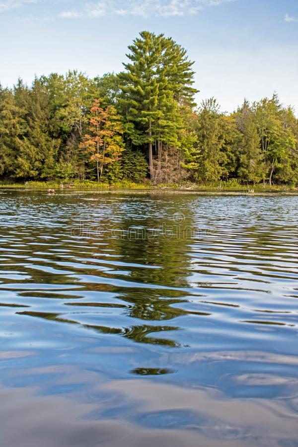 Leaves Starting To Change Color Along The Shoreline. A white pine tree stands tall along this shoreline in Ontario, Canada. The surrounding deciduous trees have stock image