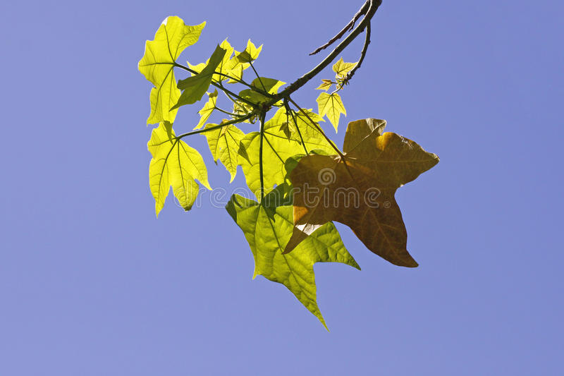 Download Leaves Of The Sugar Maple In Spring Stock Image - Image: 15176371