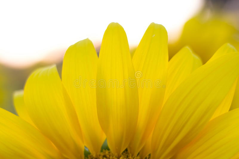 Leaves sunflower royalty free stock images