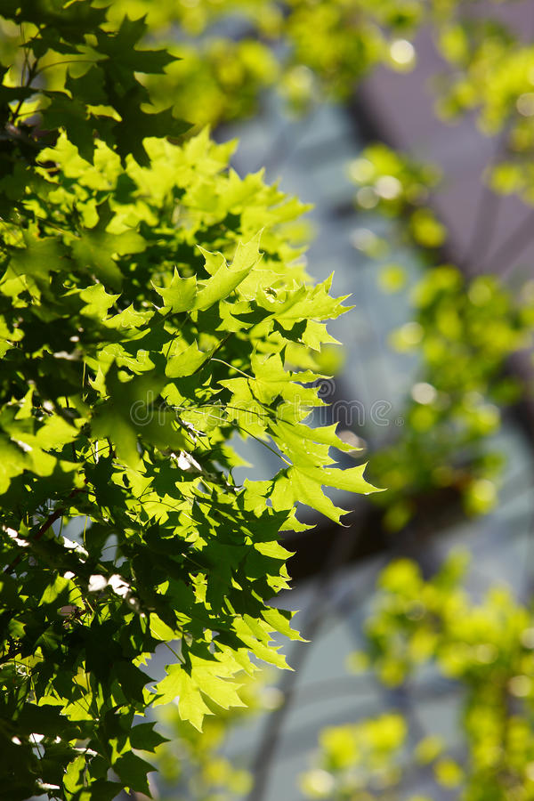 Download Leaves In Sunlight Royalty Free Stock Photo - Image: 21758535