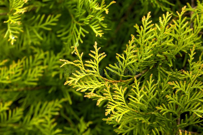 Thuja. Garden tree. Leaves of the thuja growing in an autumn garden royalty free stock photo