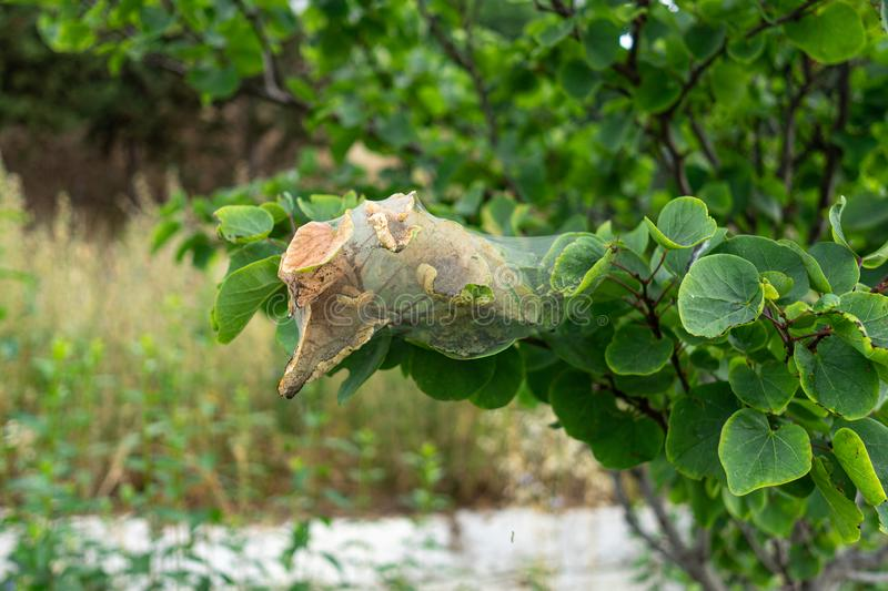 Leaves of a tree affected by Spider mite. Tetranychidae stock photo