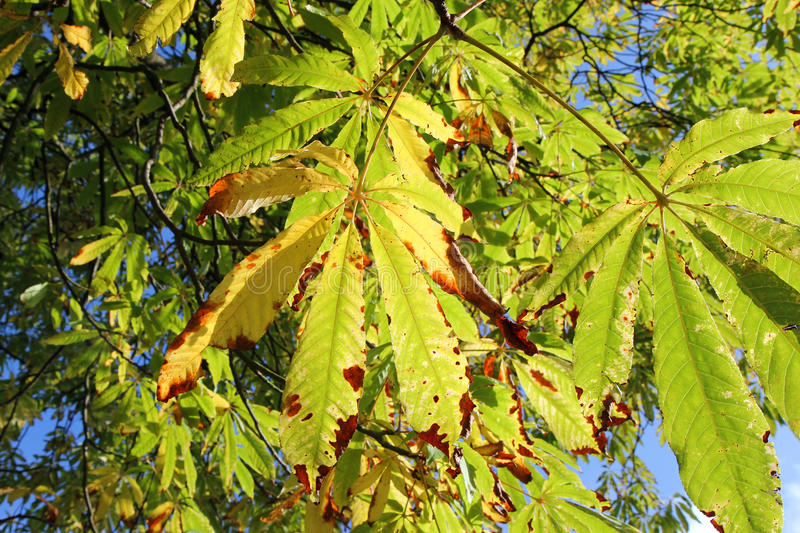 Leaves on a tree changing color in the Fall. royalty free stock photos