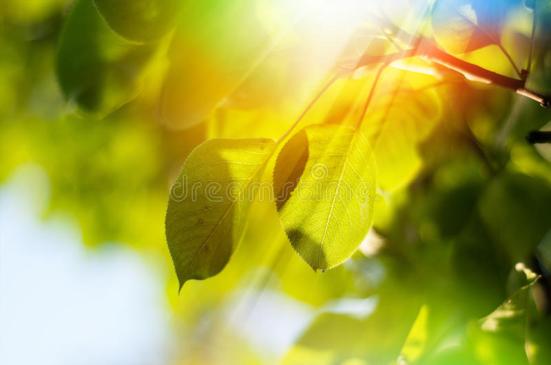 Leaves on a tree royalty free stock photo