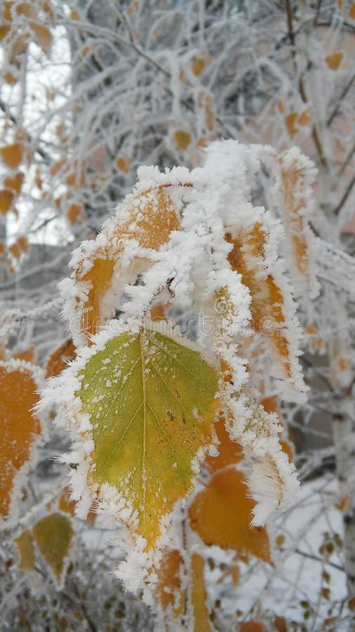 Leaves under the snow royalty free stock photography
