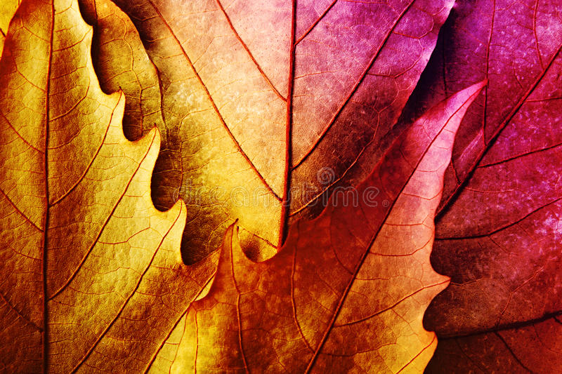 Leaves of vibrant colorsred royalty free stock photography
