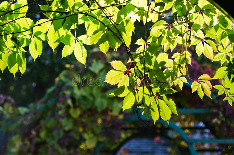 Leaves Of Virginia Creeper Royalty Free Stock Photo