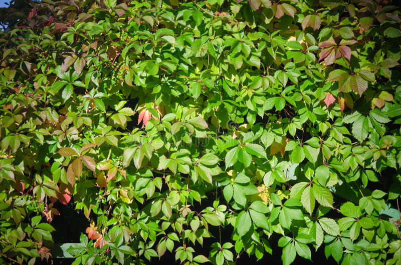 Leaves Of Virginia Creeper Royalty Free Stock Photography