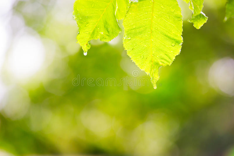 Leaves With Of Water And Burred Royalty Free Stock Images