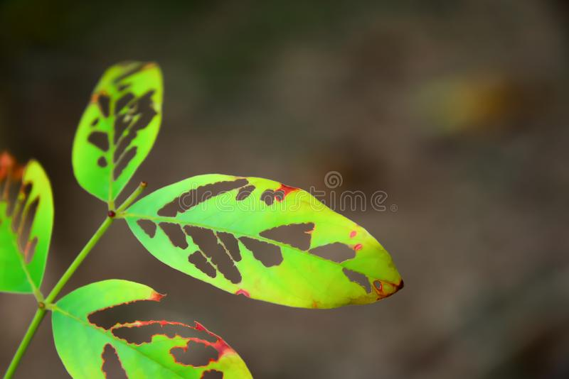The leaves that were eaten by the worm royalty free stock images