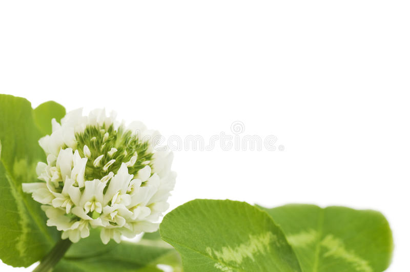 Leaves and white flower of clover. On a white background royalty free stock photos