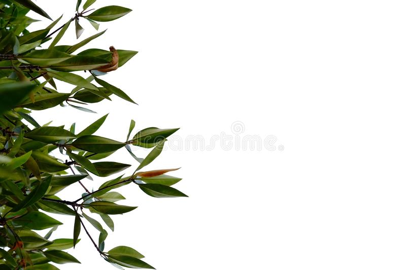 Tropical plant leaves with branches on white isolated background for green foliage backdrop. Leaves white isolated background green foliage backdrop bend sheet stock image