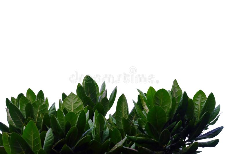 Tropical plant leaves with branches on white isolated background for green foliage backdrop. Leaves white isolated background green foliage backdrop bend sheet royalty free stock photo
