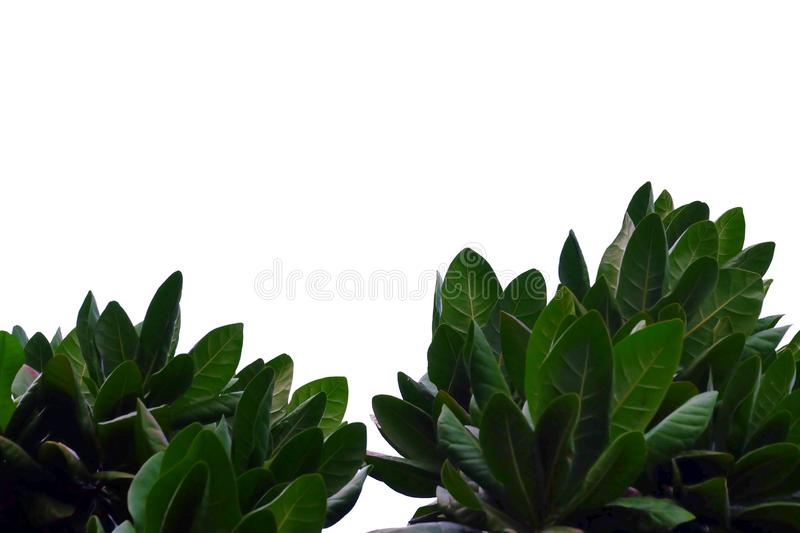 Tropical tree leaves with branches on white isolated background for green foliage backdrop. Leaves white isolated background green foliage backdrop bend sheet royalty free stock photos