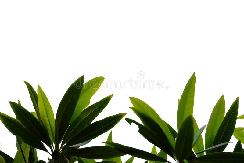 Tropical plant leaves with branches on white isolated background for green foliage backdrop. Leaves white isolated background green foliage backdrop bend sheet stock images