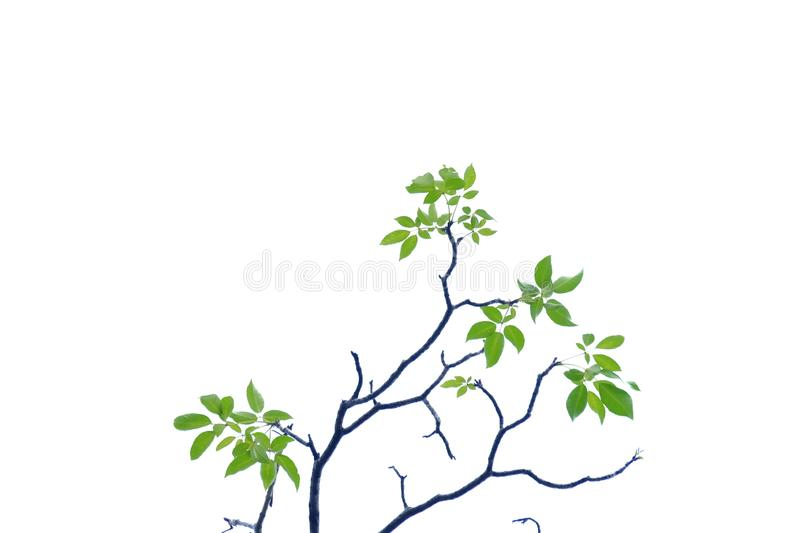 Tropical tree leaves with branches on white isolated background for green foliage backdrop. Leaves white isolated background green foliage backdrop leaf asia royalty free stock photos