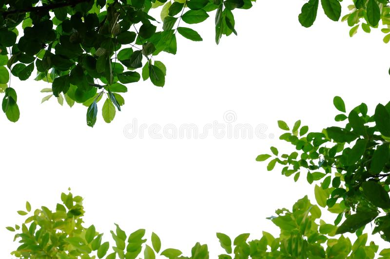 Tropical tree leaves with branches on white isolated background for green foliage backdrop royalty free stock photography