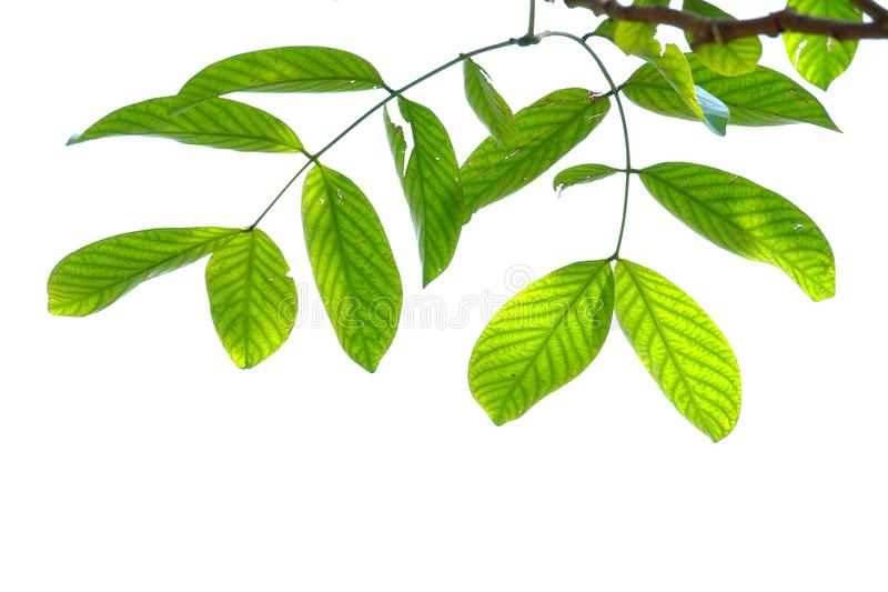 A twig of tropical plant leaves with branches and sunlight on white isolated background for green foliage backdrop. Leaves white isolated background green stock image