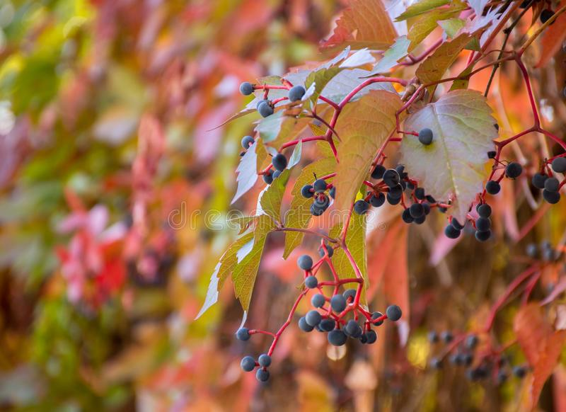 Leaves of wild grapes on a blurred natural background royalty free stock image