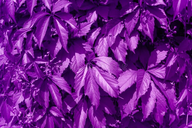 leaves of wild grapes painted violet stock photos