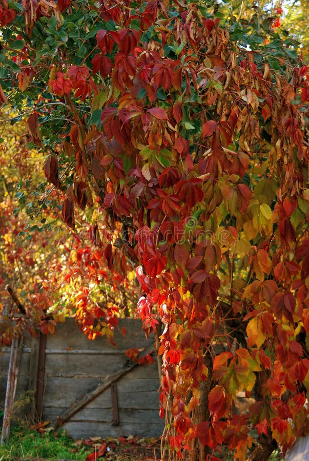 Leaves of wild grapes on a sunny autumn day stock photos