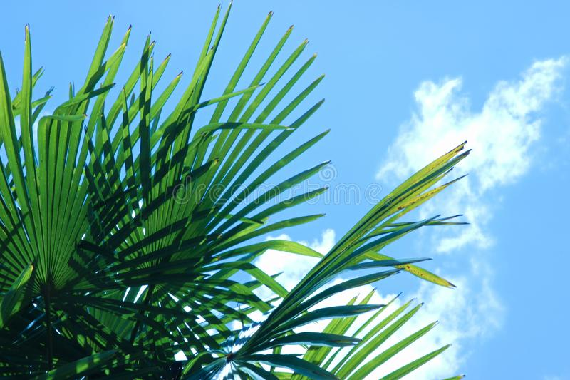 Leaves of a Windmill palm tree against a blue sky with clouds. Green leaves of a Windmill Palm Tree against a blue sky with clouds stock photo