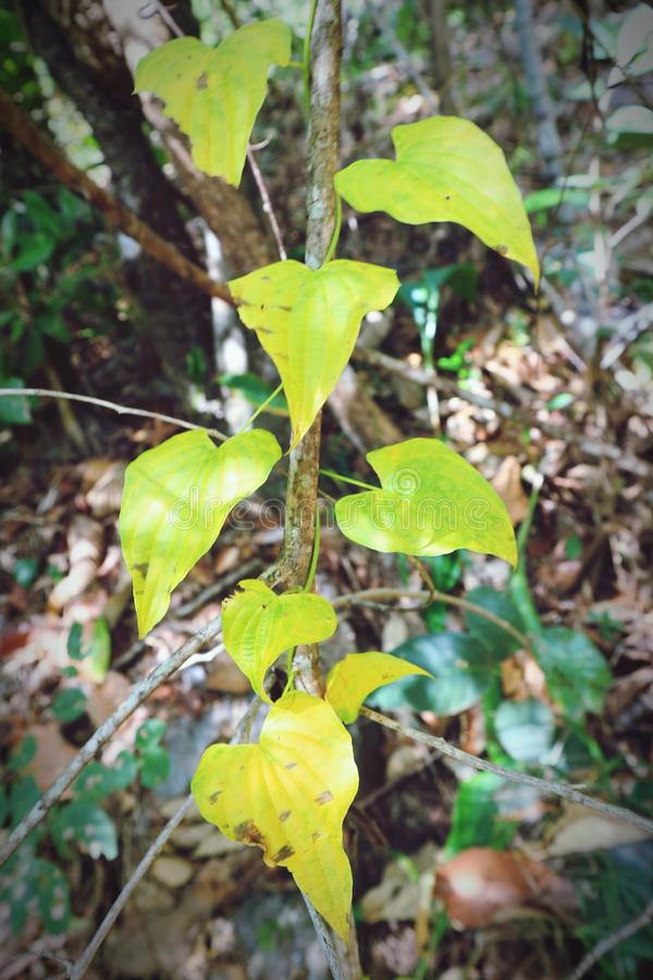 Leaves yellow forest tree green background pattern    ubonratchathani thailand royalty free stock photos