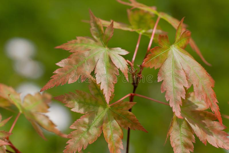 The leaves of a young Acer Palmatum sprouting in spring stock photos