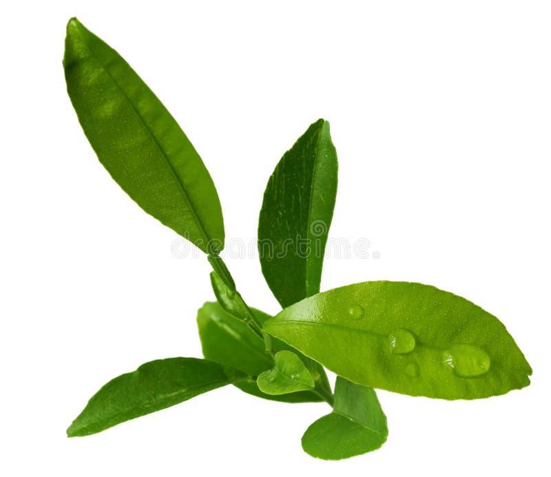 leaveslimefrukt arkivfoton