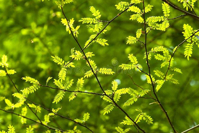 leavespeppar sichuan arkivfoton