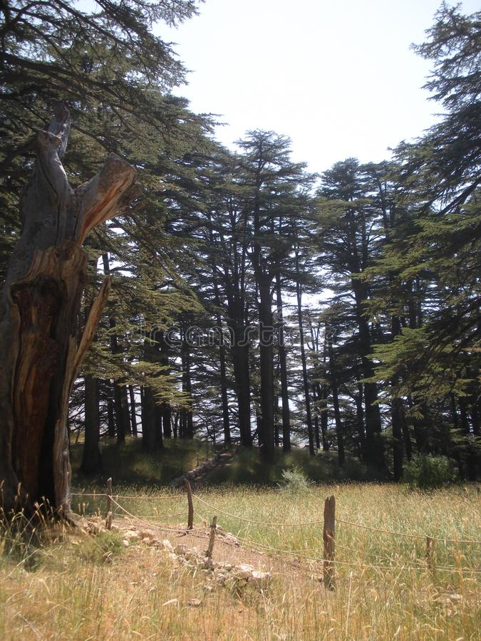 Lebanon Cedar, Lebanese Tourist Attractions. Lebanon cedars in Lebanon`s renowned Forest of the Cedars of God royalty free stock image