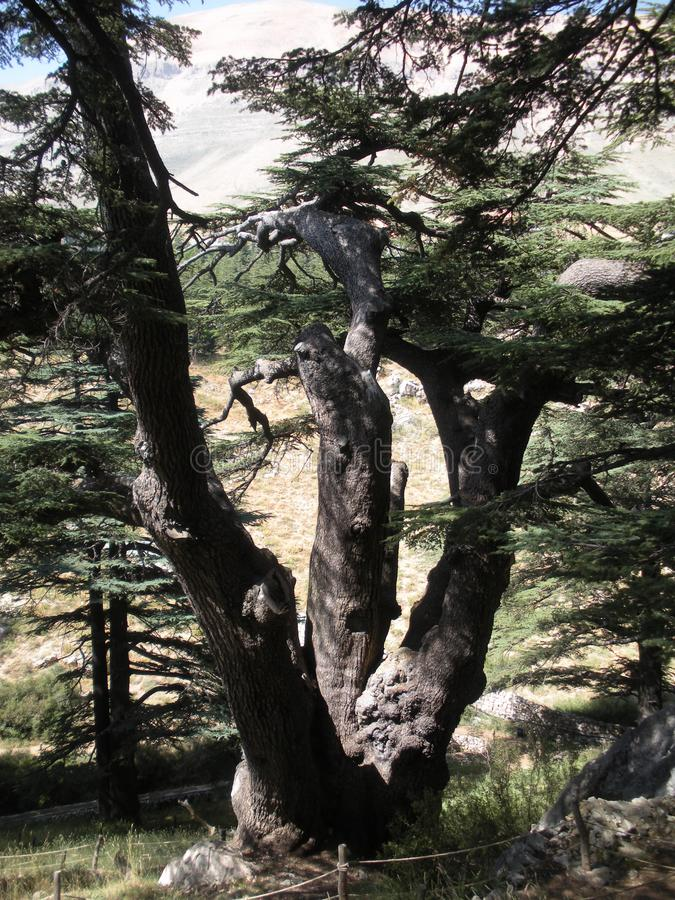 Lebanon Cedar, Lebanese World Heritage Site. An immense Lebanon cedar in Lebanon`s renowned Forest of the Cedars of God royalty free stock images