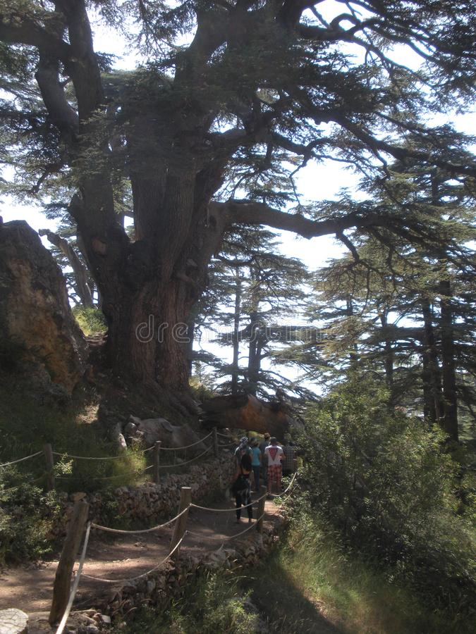 Lebanon Cedars, Tourists Walk Among the Cedars. Tourists walk a path beneath an immense Lebanon cedar in Lebanon`s renowned Forest of the Cedars of God royalty free stock images