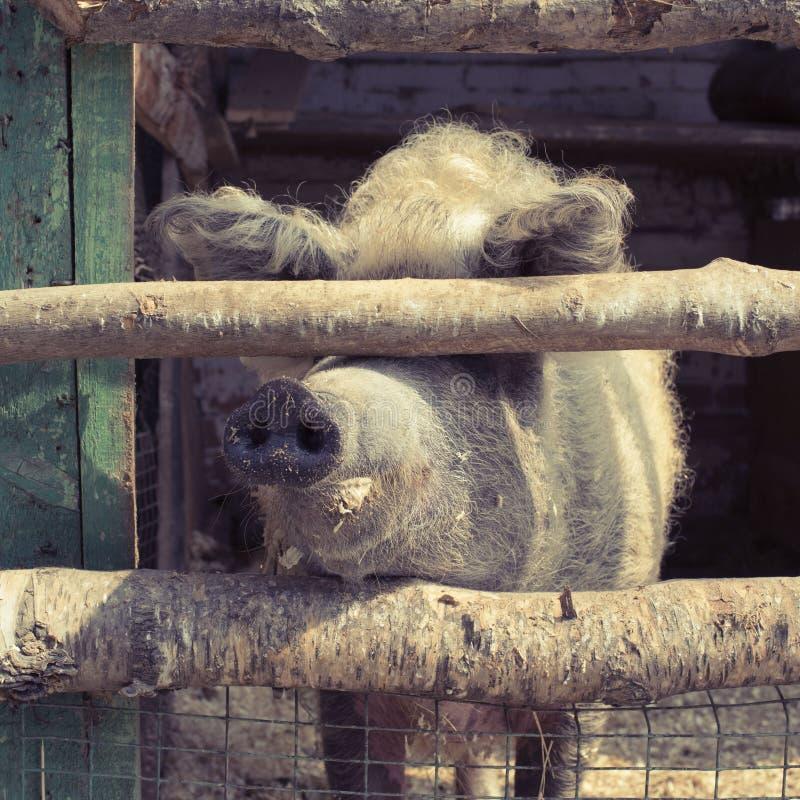 Leben eines große Schweins in einem Zoo lizenzfreie stockfotos