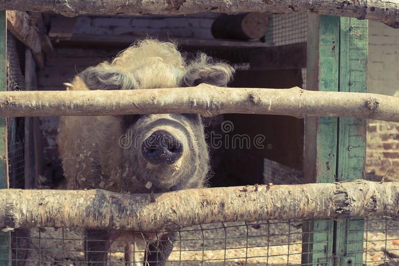 Leben eines große Schweins in einem Zoo stockbild