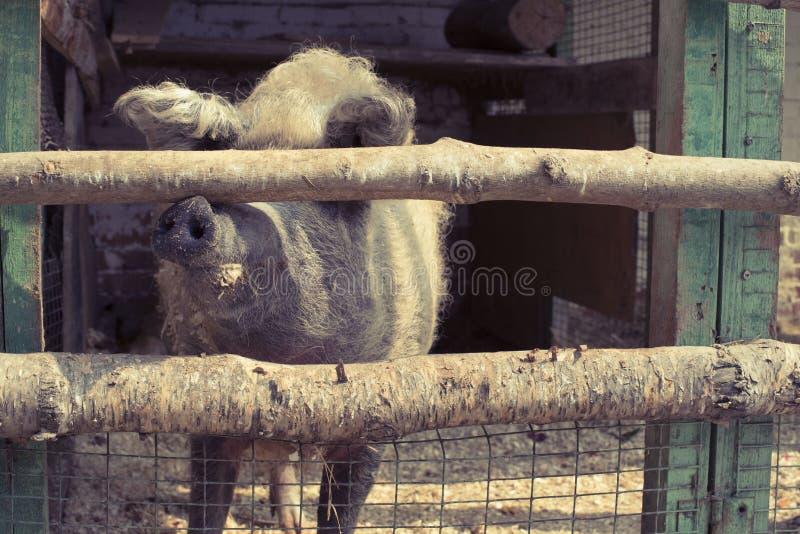 Leben eines große Schweins in einem Zoo stockfotografie