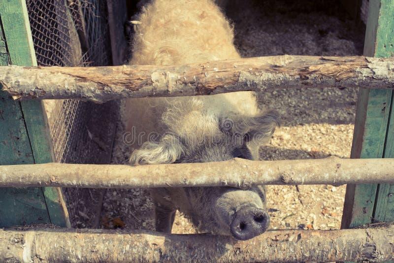 Leben eines große Schweins in einem Zoo stockfotos