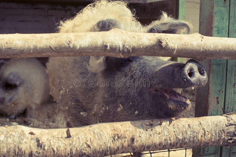Leben eines große Schweins in einem Zoo stockfoto