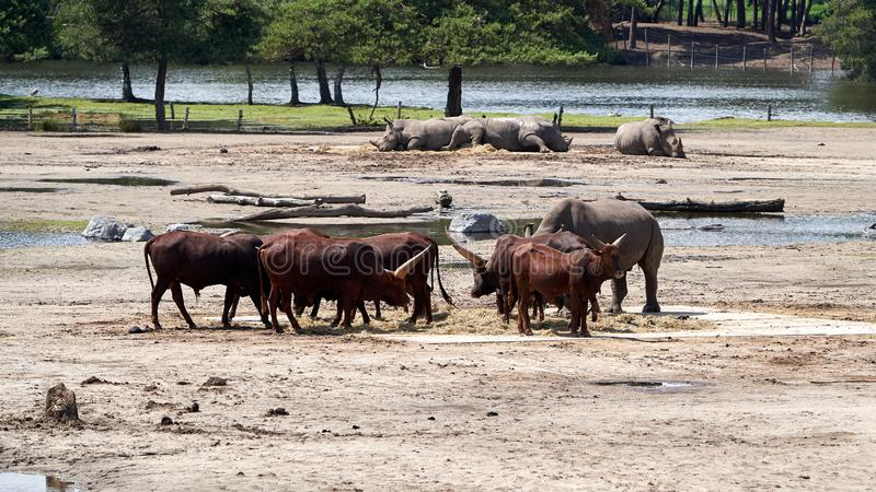 Leben Watusirund und des Nashorns neben einander lizenzfreie stockfotografie