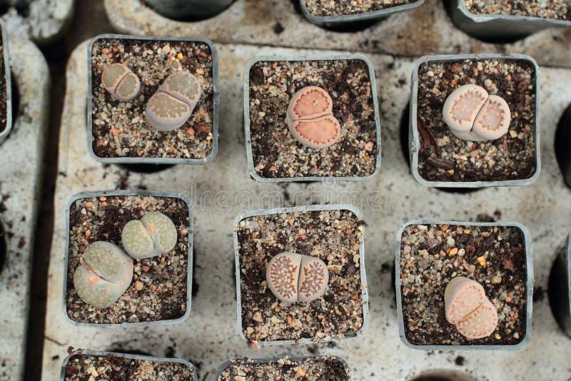Lebende Steine, Lithops stockbilder