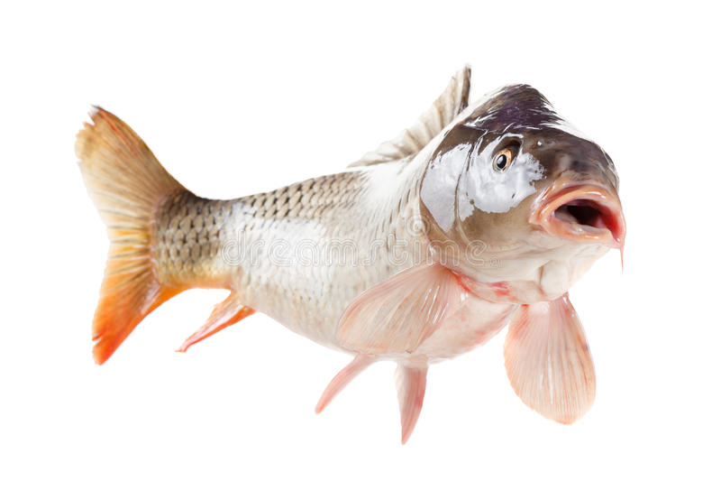 Lebendige Karpfenfische lokalisiert auf weißem Hintergrund stockfotos