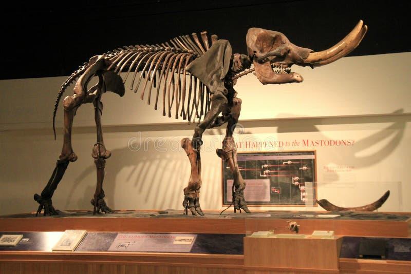 Lebensgroßes Beispiel des Mastodons auf Anzeige, Landesmuseum, Albanien, New York, 2016 lizenzfreie stockfotos