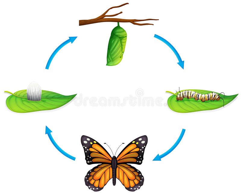 Lebenszyklus - Danaus plexippus lizenzfreie abbildung