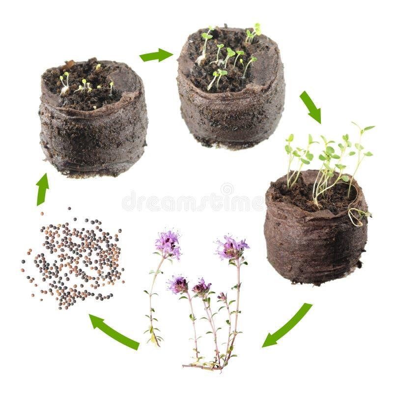 Lebenszyklus der Anlage Wachstumsstufen des Thymians oder des Thymusdrüse serpyllum vom Samen zu blühender Pflanze lizenzfreies stockbild