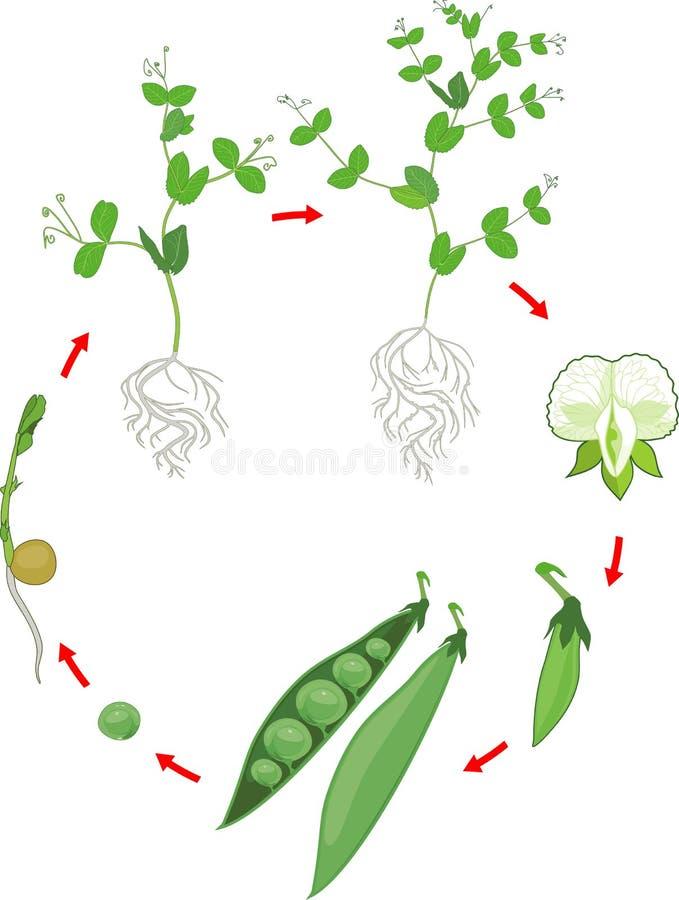 Lebenszyklus der Erbsenanlage mit Wurzelwerk Stadien des Erbsenwachstums vom Samen und vom Spr?ssling zur erwachsenen Anlage mit  lizenzfreie abbildung