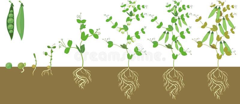 Lebenszyklus der Erbsenanlage mit Wurzelwerk Stadien des Erbsenwachstums vom Samen und vom Spr?ssling zur erwachsenen Anlage mit  stock abbildung